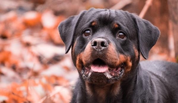 smiling rottweiler dog