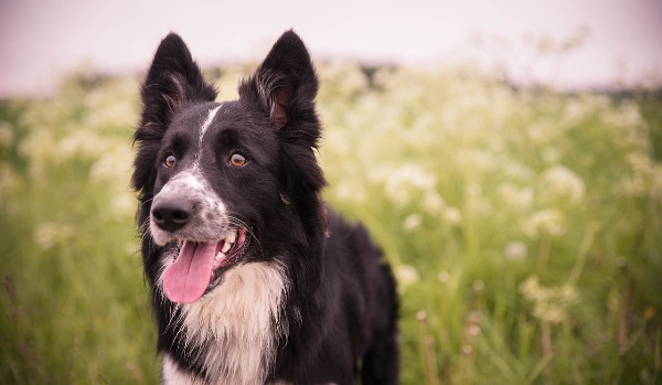 black and white border collie in grassy field
