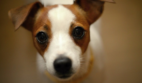 jack russell terrier dog staring at camera