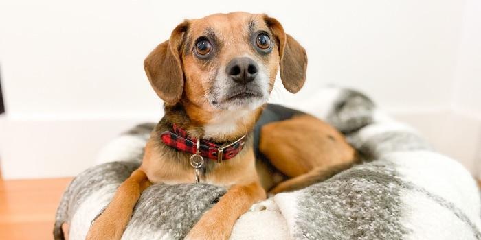 beagle laying on dog bed