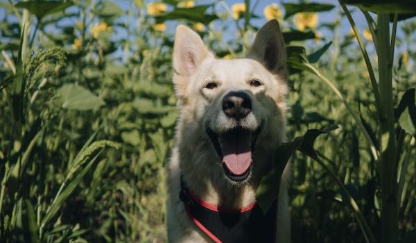 dog in flower field