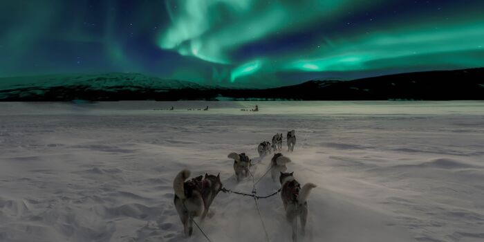 sled dogs with the northern lights