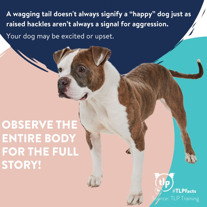 A wagging tail doesn't mean a happy dog graphic