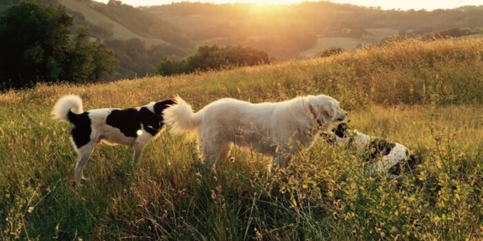 three dogs in a field