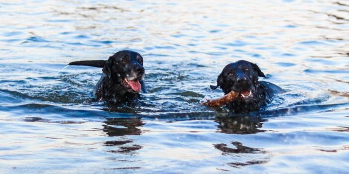 two labradors playing in water