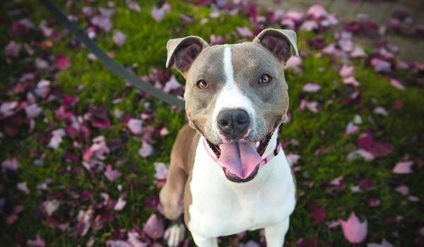 happy pitbull dog
