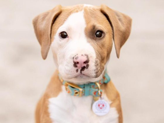 pitbull puppy from deity animal rescue