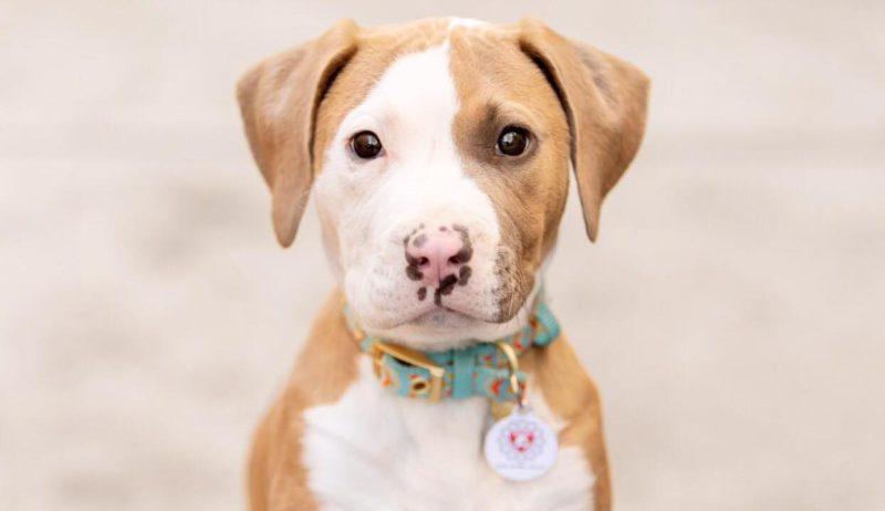 pitbull puppy from deity animal rescue