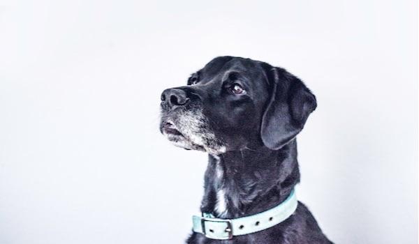 regal senior dog
