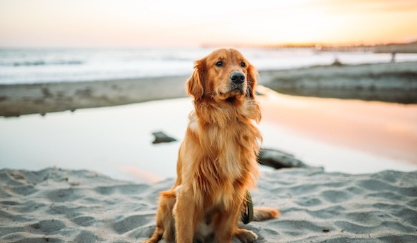 golden retriever dog on beach
