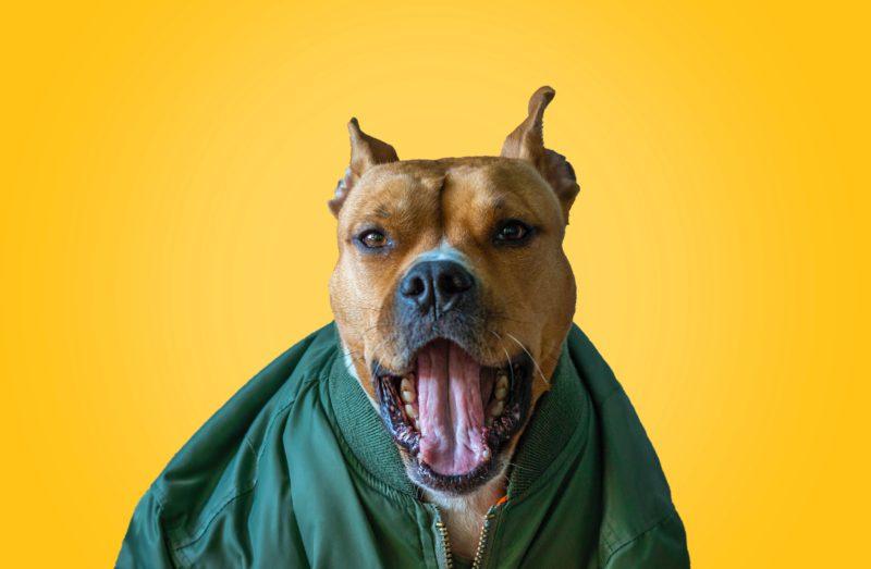 pitbull yawning
