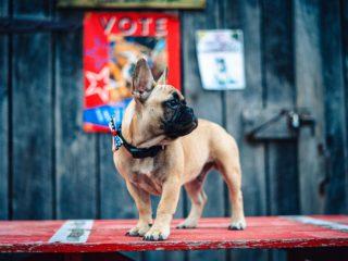 Wilbur Beast the French Bulldog