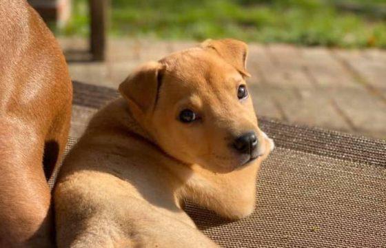 golden puppy in sunlight