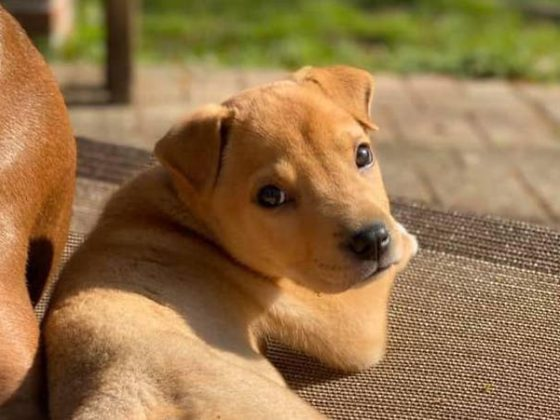 golden puppy in sunlight