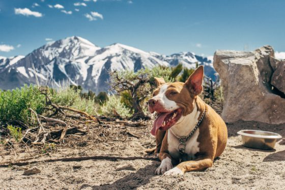 pit bull with mountains in background