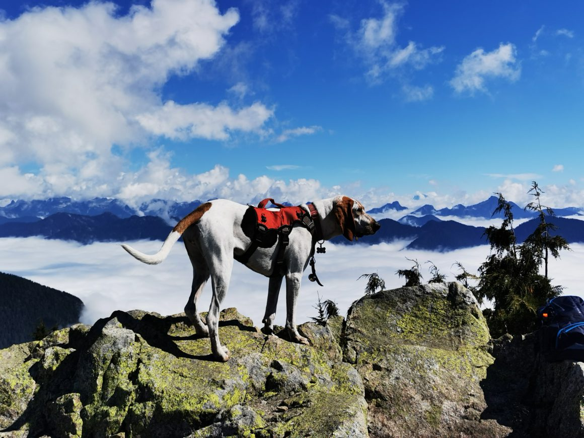 dog with backpack overlooking mountains