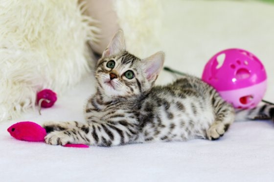 striped kitten playing with toys