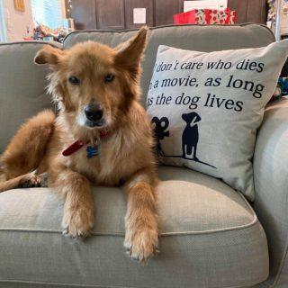 golden haired dog on sofa