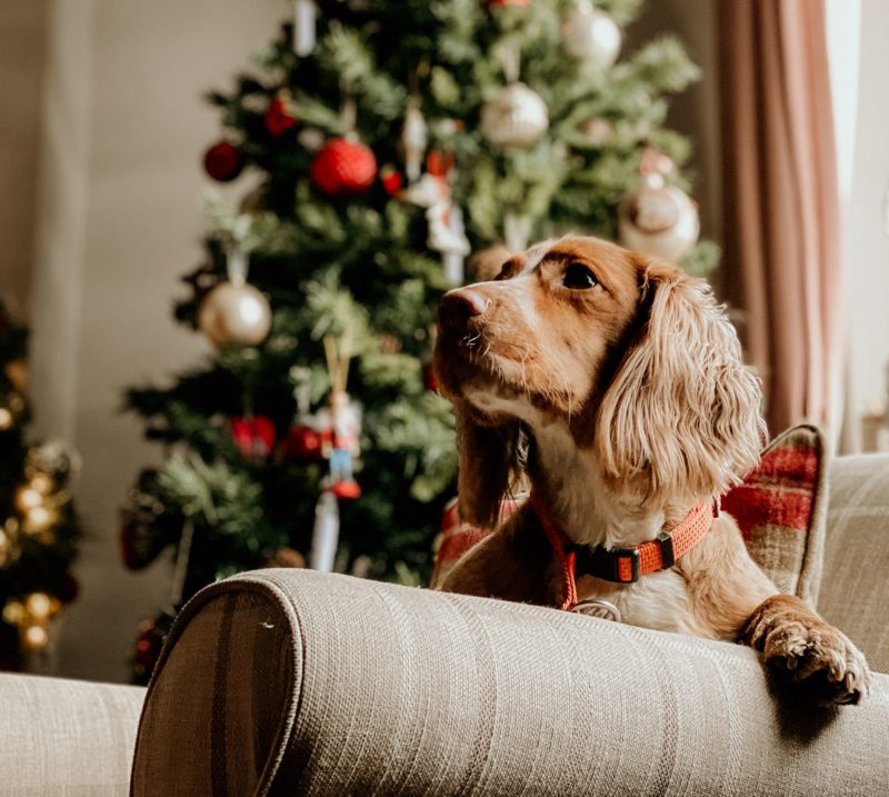 dog on couch in front of christmas tree