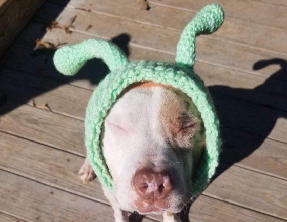pitbull dog dressed as alien