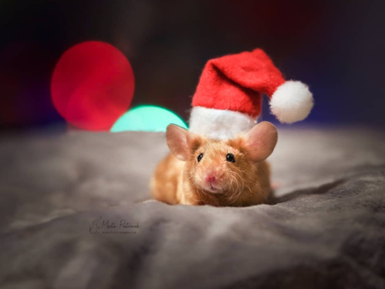 mouse wearing santa hat
