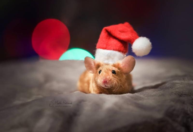 mouse wearing santa hat