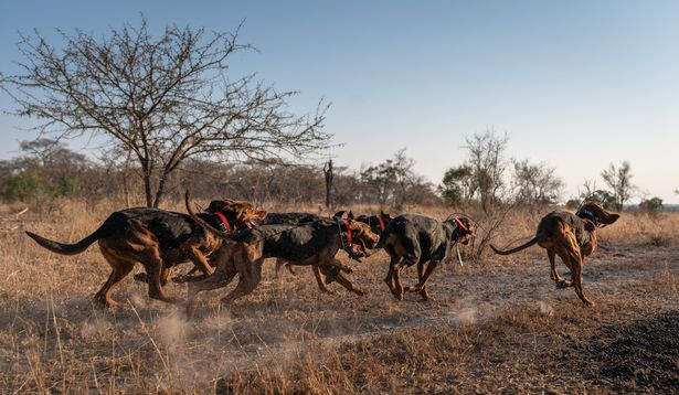 pack of dogs trained to save african wildlife