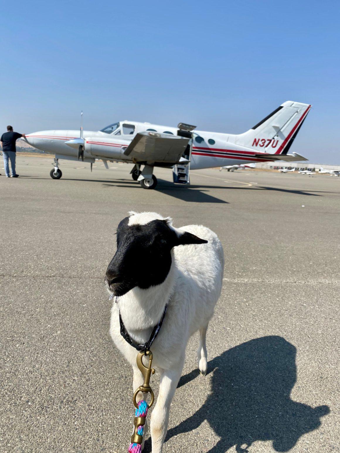 lamb outside rescue