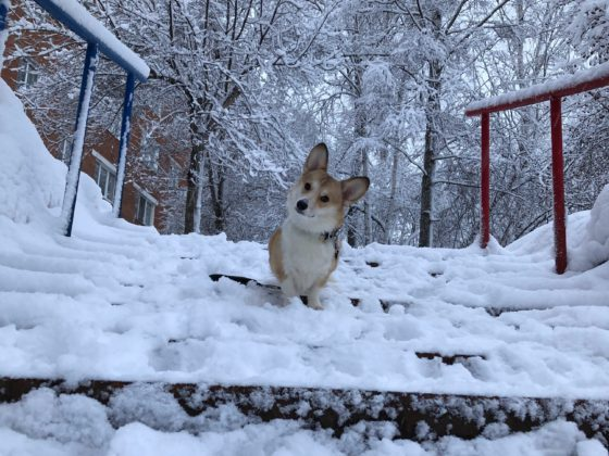 corgi on snowy steps