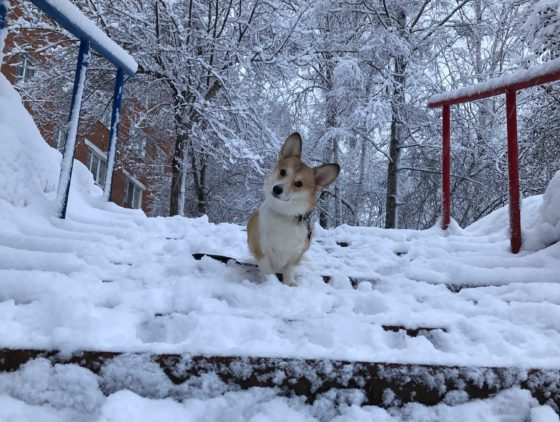 corgi on snowy steps
