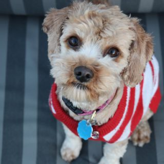terrier in red striped sweater