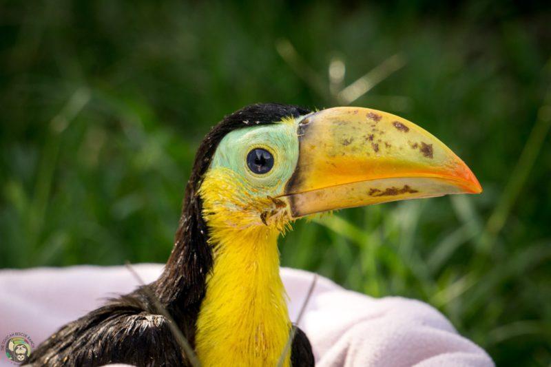 baby keel-billed toucan