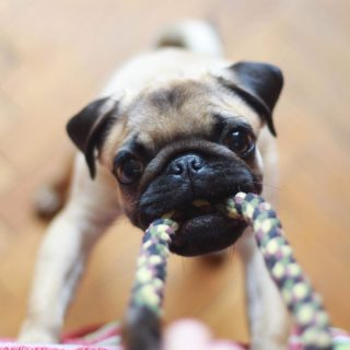pug pulling on rope toy