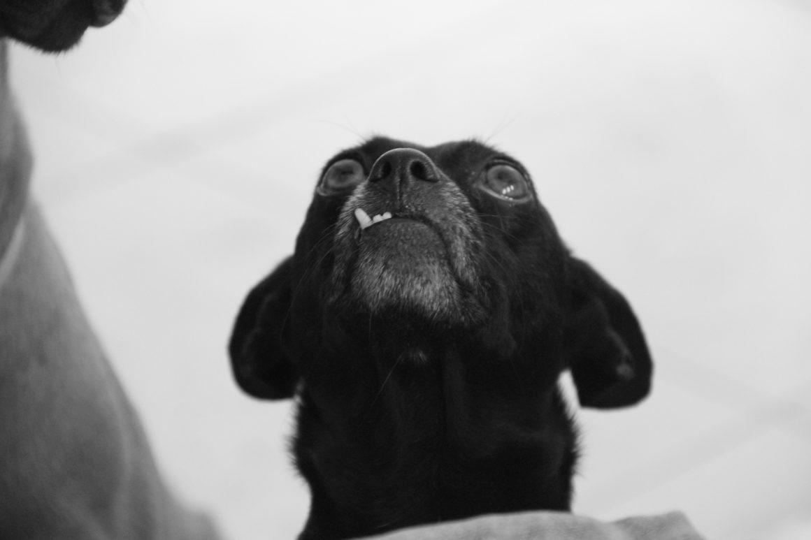 snaggle tooth dog