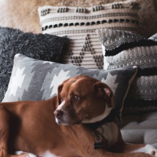 brown dog surrounded by pillows
