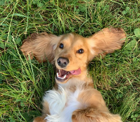 dog smiling in grass