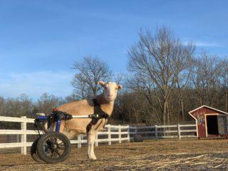 sheep in wheelchair