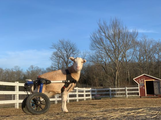 sheep in wheelchair
