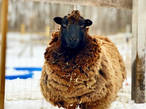 wooly sheep in snow