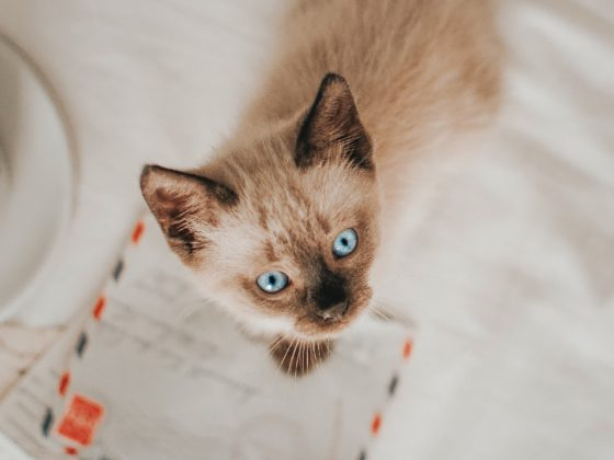 siamese kitten on love notes