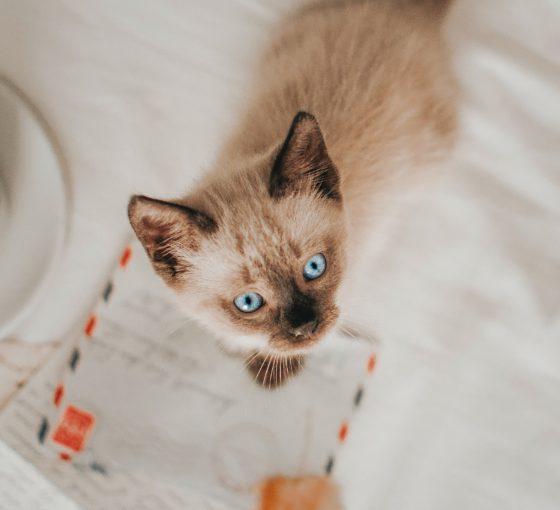 siamese kitten on love notes