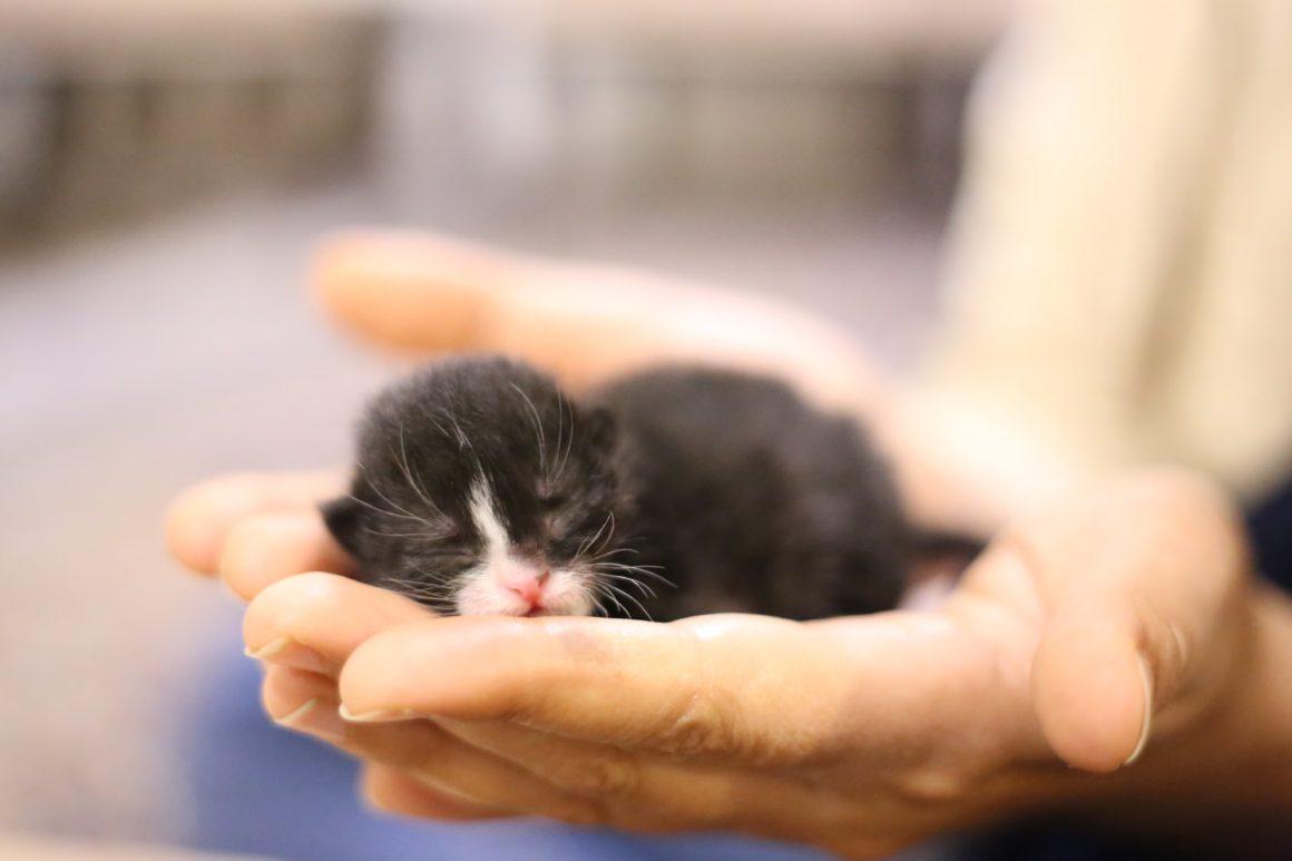 neotal kitten in hands