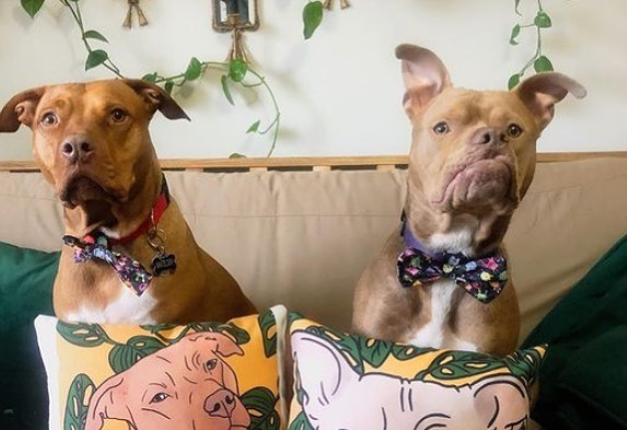 pitbulls on couch