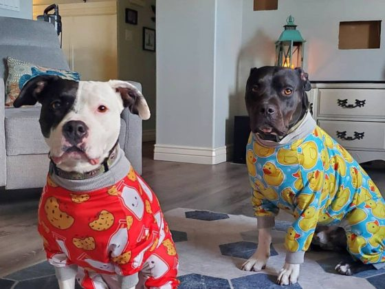 pitbulls in pajamas