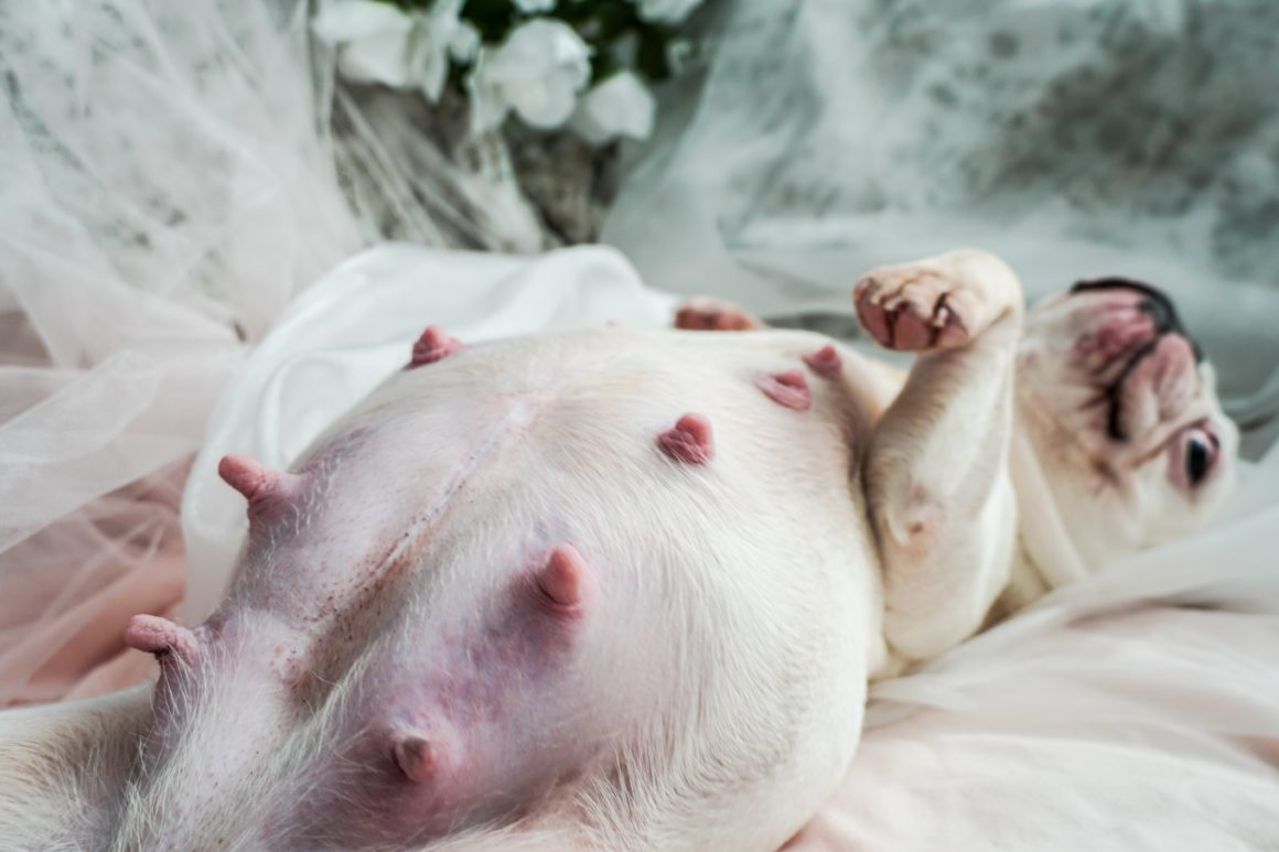 french bulldog maternity shoot up close nipples
