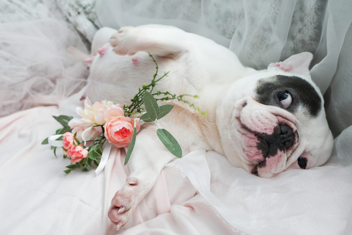french bulldog maternity shoot on side