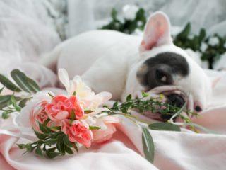 french bulldog maternity shoot flowery foreground