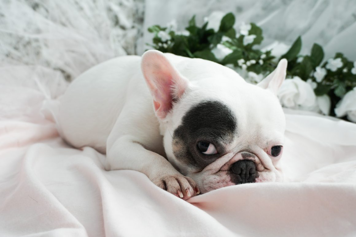 french bulldog maternity shoot pouty face