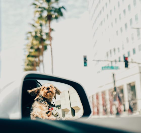 dog driving in car