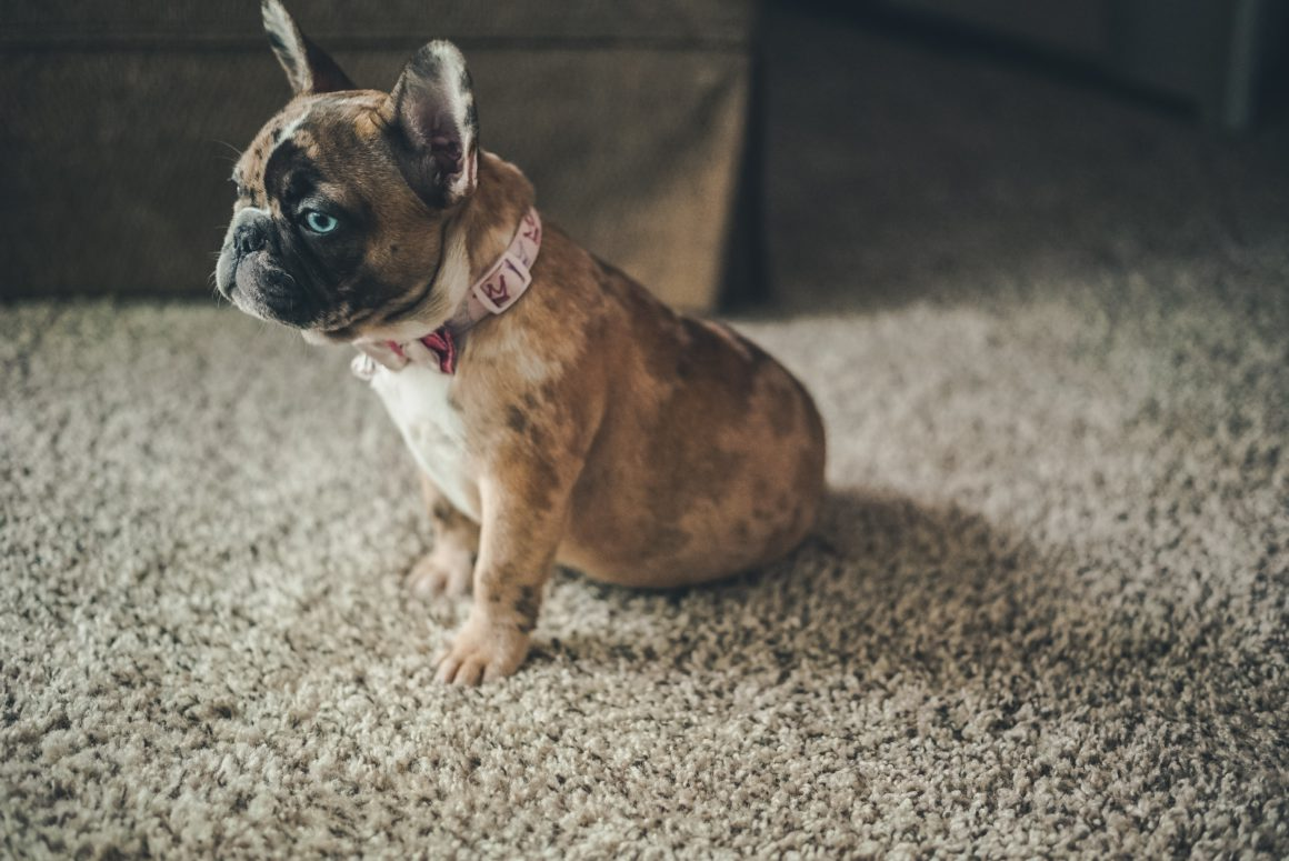 small french bulldog on carpet